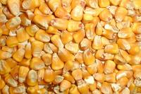 bulk yellow corn for animal feed