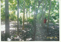 FOREST OF TEAK TREES FOR SALE