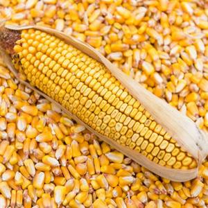 トウモロコシ飼料ロシア起源 GMO 送料